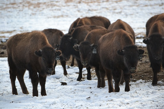 We passed a pasture full of American Bison yearlings(Buffalo).  They were curious or thought that we would give them some alfalfa..      11-17-12