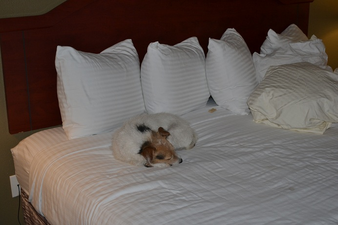The Dog rests on the motel bed after a hard day of mouse hunting.  11-11-12