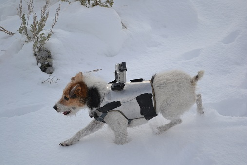 Betsy in the snow with her GoPro DogCam Mount    11-18-12